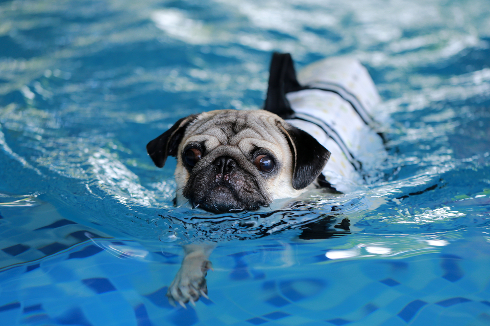 Pug receiving hydrotherapy treatment from clifton veterinarian